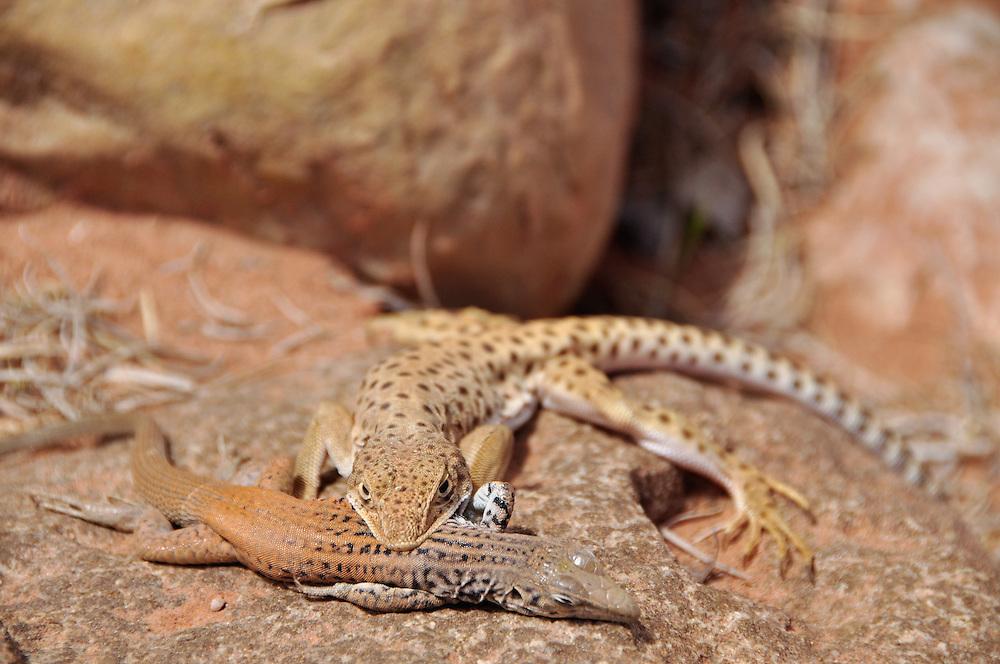 Leopard lizard preying on smaller lizard, Southern Utah.