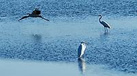 Great Egret (Ardea alba), Wood Stork (Mycteria americana). Fort De Soto County Park. St. Petersburg, Florida. Image taken with a Nikon D3 camera and 70-200 mm f/2.8 VR lens.