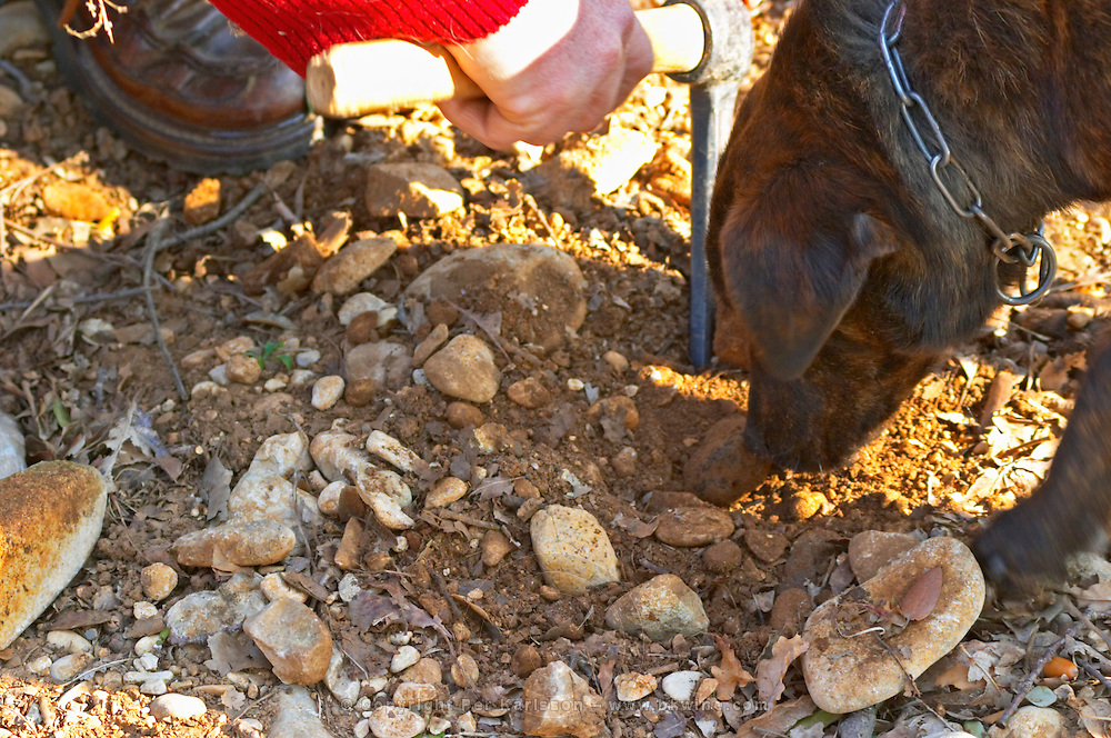 A truffle dog finding a truffle and a man with a pick at La Truffe de Ventoux truffle farm, Vaucluse, Rhone, Provence, France