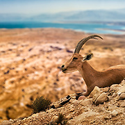 Gazella on the hights in the desert of Israel.
