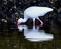 White Ibis (Eudocimus albus). Weedon Island. Pinellas County, Florida. Image taken with a Nikon D300 camera and 80-400 mm VR lens.