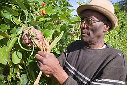 Older man picking beans on his allotment,