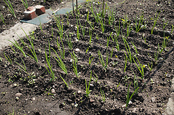 An onion bed on an allotment,
