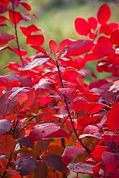Cotinus 'Grace' in autumn colour. Smoke bush