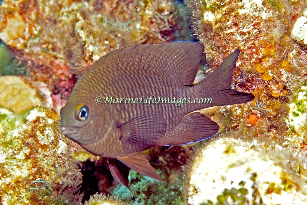 Longfin Damselfish generally inhabit reefs between 15-80 feet in Tropical West Atlantic; picture taken Key Largo, FL.