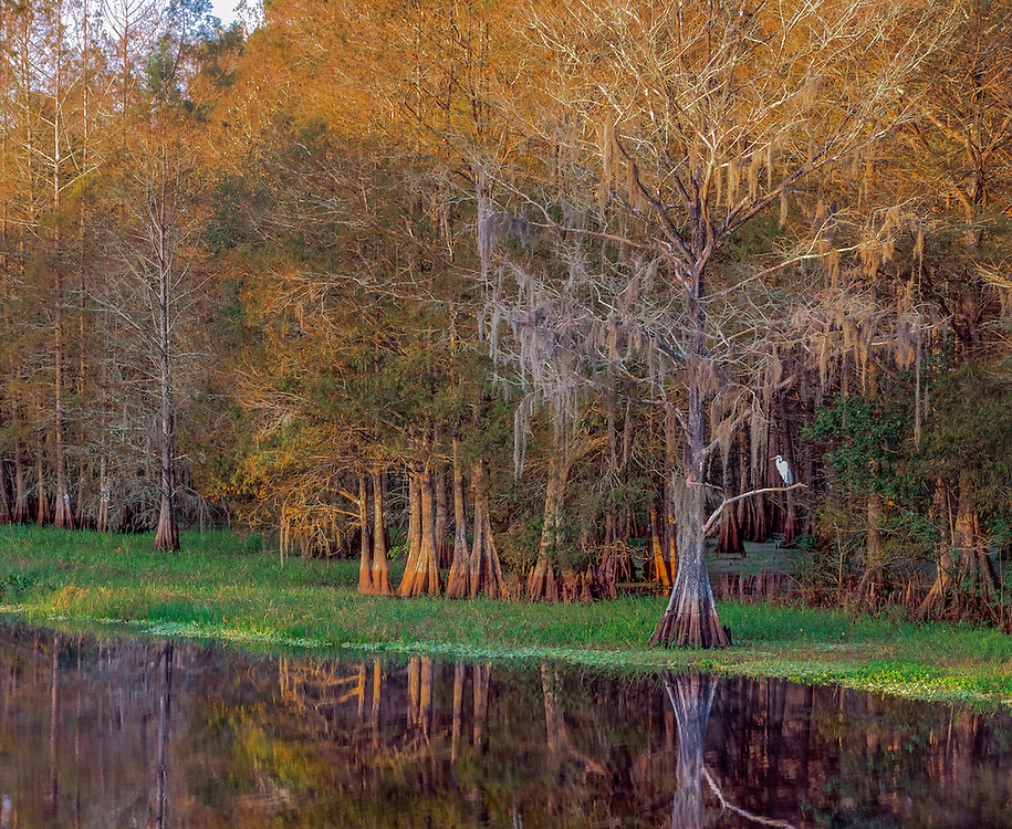Great Egret roosting in baldcypress tree, reflections in Withlacoochee River, Citrus County, FL