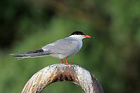 Common tern, Sterna hirundo, Danube delta rewilding area, Romania