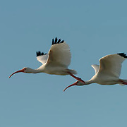 White Ibis (Eudocimus albus) Pair in flight. Southwest Florida.[#Beginning of Shooting Data Section].Nikon D2H.Focal Length: 500mm.White Balance: Auto.Color Mode: Mode II (Adobe RGB).2003/12/23 21:18:30.9.Exposure Mode: Programmed Auto*.AF Mode: AF-C.Hue Adjustment: 0?.RAW (12-bit) .Metering Mode: Multi-Pattern.Tone Comp: Auto.Sharpening: None.Image Size:  Large (2464 x 1632).1/640 sec - f/7.6.Flash Sync Mode: Not Attached.Noise Reduction: OFF.Exposure Comp.: -0.3 EV.Lens: 500mm f/4 D.Sensitivity: ISO 200.Image Comment: Camera #2001035                     .[#End of Shooting Data Section]