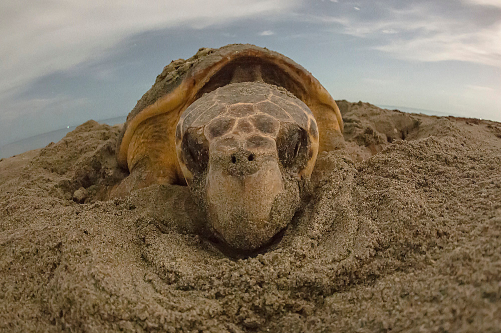 Female Loggerhead Sea Turtle, Caretta caretta, nests on Juno Beach, Florida, United States during a summer night. Juno Beach has one of the highest concentrations of nesting Loggerheads in the world.