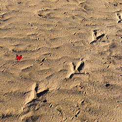 Bird tracks in the sand in Brunswick, Maine.