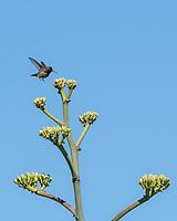 Male Anna's Hummingbird, Calypte anna, lands on an Agave in the Desert Botanical Garden, Phoenix, Arizona