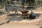Myanmar Bagan Popa mountain park an ox used for threshing
