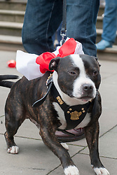 Decked out in Red and White Snoopy the dog with EDL members and supporters in All Saints Square near Rotherham Minster during Saturdays  EDL rally in South Yorkshire  in Rotherham Town Centre <br /> <br /> May 10 2014<br /> Image © Paul David Drabble <br /> www.pauldaviddrabble.co.uk