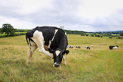 Friesian cow scratching its face, Cotswolds, England, United Kingdom.