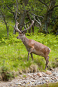 Red deer stag, Cervus elaphus, with velvet type antlers in woodland at Lochranza, Isle of Arran, Scotland