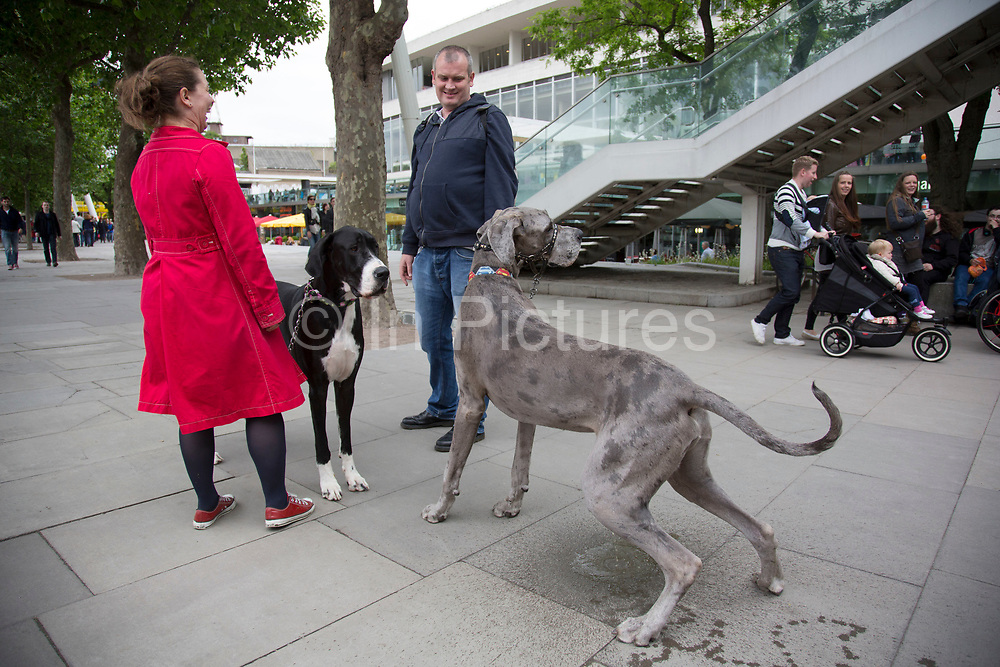 Sid the dog stops to use the bathroom as a couple walk their two Great Dane dogs along the riverside walkway. Large pet owners Owen and Hanne, walk their two super scale dogs Sid (grey, 2 years old) and Talulah (black, 3 years old) creating a great distraction. The South Bank is a significant arts and entertainment district, and home to an endless list of activities for Londoners, visitors and tourists alike.
