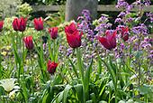 April Garden - Tulips &  Spring bulbs - Whepstead, Suffolk
