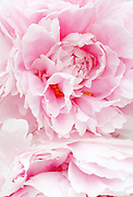 Abstract Pink Peony