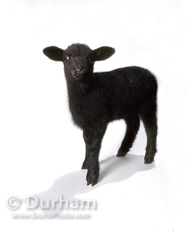 A domestic sheep black lamb (Ovis aries), photographed in studio. Portland, Oregon.
