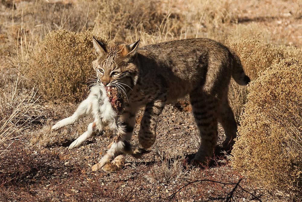 A wild bobcat catches a rabbit in the high desert of Plactias, New Mexico.