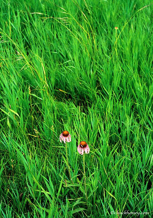 Pale purple coneflowers in prairie grasslands in North Dakota