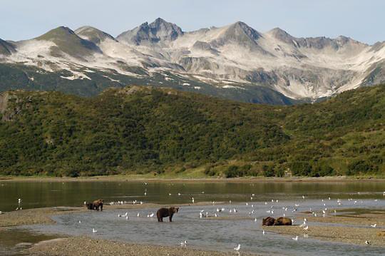 Alaskan Brown Bear (Ursus middendorffi) Family groups fishing for salmon. Katmai National Park. Alaska.