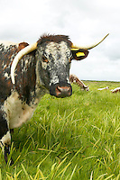 Longhorn cattle at Martin Mere nature reserve, used to crop the grass