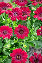 Osteospermum 'Serenity Red' - African daisy