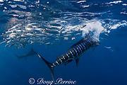 striped marlin, Kajikia audax (formerly Tetrapturus audax ), feeding on baitball of sardines or pilchards, Sardinops sagax, off Baja California, Mexico ( Eastern Pacific Ocean ) #7 in sequence of 7