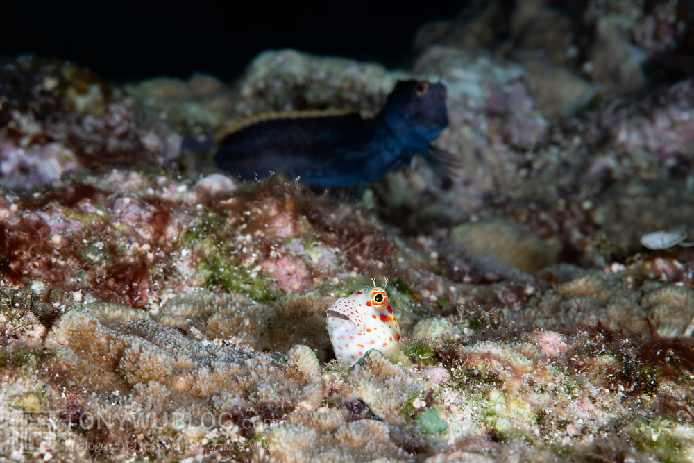 This is a pair of red-spotted blennies (Blenniella chrysospilos) engaged in spawning. The white individual in the foreground is female. She has deposited eggs in the male's burrow. The male in the background was waiting in a nearby burrow and is now rushing back to fertilize the eggs. His dark color is indicative of courtship, which is no longer necessary once spawning commences. But there was another female nearby that he was trying to attract, even as he was spawning with this female.