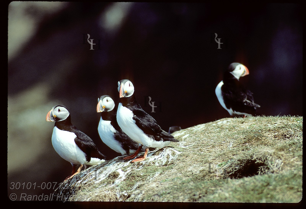 Puffins sit atop grassy cliff edge on Grimsey Island in May; note puffin burrow in foreground Iceland