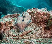 Tropical Flounder in Revillagigedo (Socorro), MX