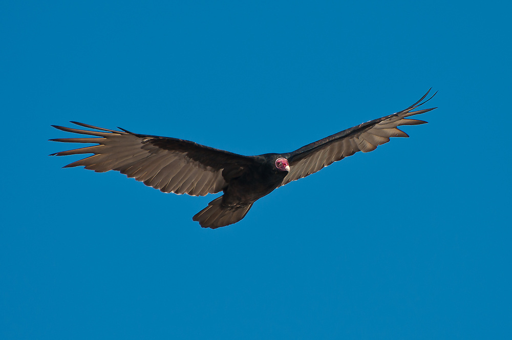 An impossibly red-headed turkey vulture patrols the Gulf Coast in the St. Marks National Wildlife Refuge in North Florida in search of carrion.