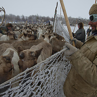 North of the Arctic Circle in Russia, a nomadic Komi reindeer herder holds up netting of temporary pen against crush of reindeer.