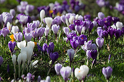 © Licensed to London News Pictures . 27/02/2014 . Buile Hill Park , Salford , UK .  Hundreds of purple , orange and white crocuses spring through the grass . Glorious spring sunshine in Buile Hill Park this afternoon (Thursday 27th February 2014) as weather is predicted to take a colder turn . Photo credit : Joel Goodman/LNP