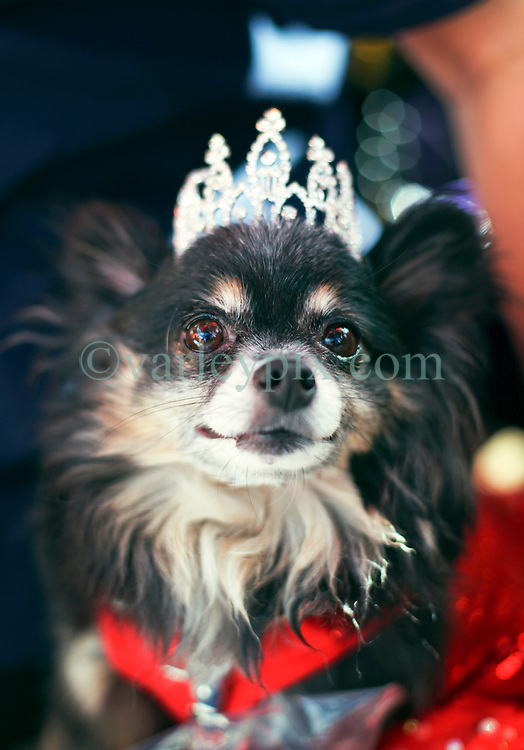31 January 2016. New Orleans, Louisiana.<br /> Mardi Gras Dog Parade. Queen of the parade, Queen Nee Nee Sprang. The Mystic Krewe of Barkus winds its way around the French Quarter with dogs and their owners dressed up for this year's theme, 'From the Doghouse to the Whitehouse.' <br /> Photo©; Charlie Varley/varleypix.com