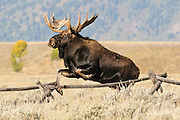 Large bull moose jumping a buck rail fence in Grand Teton National Park during the fall rut.