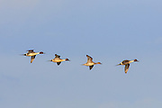 Pintails over Freezeout Lake, Montana