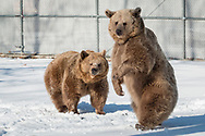 Otisville, New York - Bears at the Orphaned Wildlife Center on Feb. 18, 2018. Jim Kowalczik and his wife Susan Kowalczik are licensed wildlife rehabilitators who run the center with the goal of providing safety and nurturing to animals that are truly orphaned and prepare them to be returned to a life in the wild.
