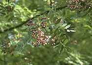 Domed tree. Sometimes called Hubei Rowan S. glabrescens.<br /> LEAVES Pinnate with 11-17 pairs of leaflets. REPRODUCTIVE PARTS Fruits pink-tinged white. STATUS AND DISTRIBUTION Native of China, popular here in gardens.