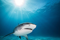 """A tiger shark (Galeocerdo cuvier) """"smiles"""" as it moves among the sun's rays at Tiger Beach, Grand Bahama."""