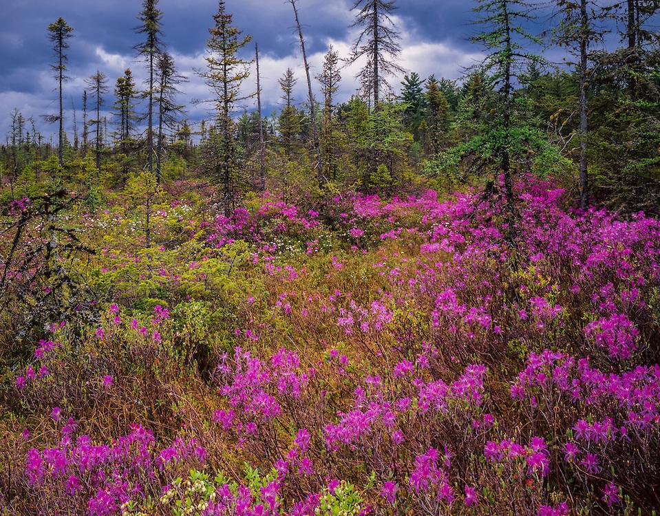 Rhodora in bloom at Heath Pond Bog, National Natural Landmark, spring, Ossipee, NH