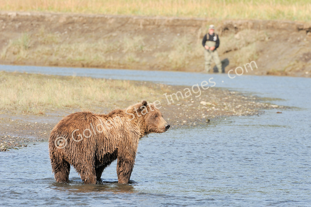 So anybody catching anything? A Brown Bear shares the creek with other fisherman.  <br /> <br /> Brown Bears and Grizzly Bears are the same species. In general Bears living within 50 miles of the coast are considered browns. Animals living further inland are considered Grizzlies.  <br /> <br /> Grizzlies are omnivores feeding on a variety of plants berries roots and grasses in addition to fish insects and small mammals. Salmon are a key part of their diet. Normally a solitary animal they will congregate along streams and rivers during Salmon runs. Weight to over 1200 pounds.    <br />  <br /> Range: Native to Asia Africa Europe and North America. Now extinct in much of their original range.    <br />   <br /> Species: Ursus arctos