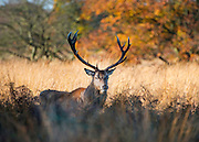 © Licensed to London News Pictures. 04/11/2014. Richmond, UK. A stag wanders through the autumnal grasses and trees.  People and animals enjoy the warm sunshine in Richmond Park, Surrey today 4th November. Britain has experienced unseasonably warm weather recently.  Photo credit : Stephen Simpson/LNP