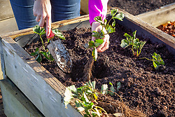 Planting strawberry bare root runners in a raised bed