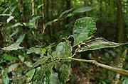 Green leaf Katydid (Roxelana crassicornis)<br /> Yasuni National Park, Amazon Rainforest<br /> ECUADOR. South America