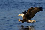 Bald Eagle, Haliaeetus leucocephalus, diving for fish, Kenai Peninsula, Homer Spit, Homer, Alaska. Digital original #2006_1049 ©Robin Brandt