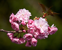 Plum tree blooms my front yard. Spring in New Jersey. Image taken with a Fuji X-T1 camera and 100-400 mm OIS lens (ISO 200, 190 mm, f/5, 1/850 sec).