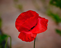 Red Poppy Flower. Image taken with a Fuji X-H1 camera and 200 mm f/2 OIS lens + 1.4x teleconverter (ISO 200, 280 mm, f/5.6, 1/1100 sec).
