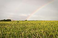 Rainbow over farmer's field with spring wildflowers near Santa Cruz, California